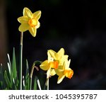 early spring daffodils in...   Shutterstock . vector #1045395787