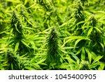 marijuana cultivation indoor... | Shutterstock . vector #1045400905