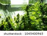 marijuana cultivation indoor... | Shutterstock . vector #1045400965