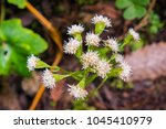 Small photo of Close up of Ageratina adenophora flowers growing the the forests of Santa Cruz mountains, San Francisco bay area; this plant is considered invasive in California