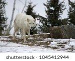 an arctic wolf  canis lupus... | Shutterstock . vector #1045412944