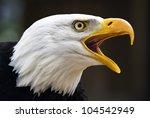 Portrait Of A Bald Eagle  Lat....