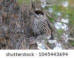nucifraga caryocatactes.... | Shutterstock . vector #1045443694
