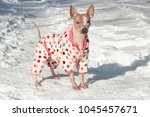 cute american hairless terrier... | Shutterstock . vector #1045457671