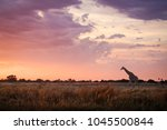 Giraffe Walking At Sunrise