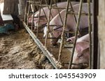 dirty pig in organic farm in... | Shutterstock . vector #1045543909