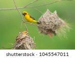 asian golden weaver  ploceus... | Shutterstock . vector #1045547011