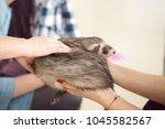 cute sleeping polecat in... | Shutterstock . vector #1045582567