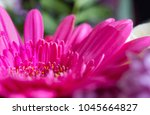 Beautiful Pink Violet Gerbera...