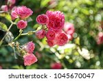 Beautiful Pink Climbing Roses...