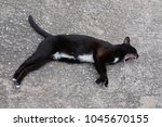 Black Cat White Belly With...