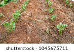 small green bean seedlings of... | Shutterstock . vector #1045675711