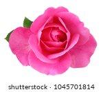 Beautiful Red Rose  Rosaceae ...