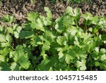 green laves of parsley. carved... | Shutterstock . vector #1045715485