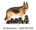 german shepherd dog standing... | Shutterstock . vector #1045747204