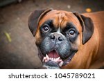 A Beautiful Boxer Dog Smiling.