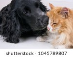 Stock photo dog spaniel and red cat on wooden background 1045789807