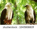 brahminy kite  a subspecies of...   Shutterstock . vector #1045808839