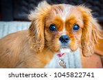 Stock photo puppy love this is a loving king charles cavalier puppy who s always ready to play 1045822741
