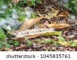 white silk cotton tree kapok... | Shutterstock . vector #1045835761