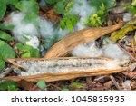 white silk cotton tree kapok... | Shutterstock . vector #1045835935