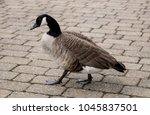 A Single Black Footed Goose...