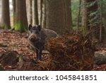 the wild boar  sus scrofa  ... | Shutterstock . vector #1045841851
