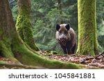The Wild Boar  Sus Scrofa  ...