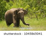 asian or asiatic elephant is...   Shutterstock . vector #1045865041