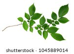 green leaves of elm tree... | Shutterstock . vector #1045889014