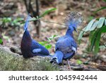Victoria Crowned Pigeon In The...