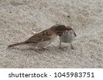 juvenile wild sparrow with open ... | Shutterstock . vector #1045983751