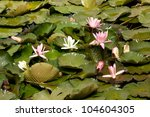 Small photo of Eichhornia , aquatic lirium in amazonas river