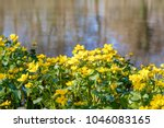 blooming caltha palustris ... | Shutterstock . vector #1046083165
