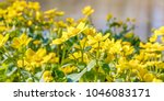 blooming caltha palustris ... | Shutterstock . vector #1046083171