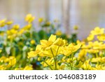 blooming caltha palustris ... | Shutterstock . vector #1046083189