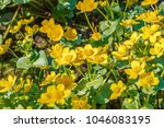 blooming caltha palustris ... | Shutterstock . vector #1046083195