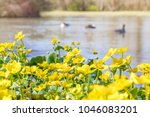 blooming caltha palustris ... | Shutterstock . vector #1046083201
