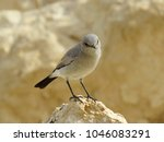 Small photo of Blackstart desert bird