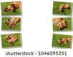 Small photo of Collage on white background dog lying on back on green grass,mixed spaniel dogs spaniel