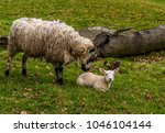 a ewe tenderly nuzzles her lamb ... | Shutterstock . vector #1046104144
