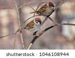 two eurasian tree sparrows ... | Shutterstock . vector #1046108944
