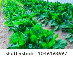 growing plants of spinach... | Shutterstock . vector #1046163697