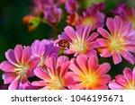 Small photo of Lady bug exploring the Lewisia flowers in the spring.