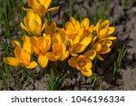 yellow crocus  crocuses or...   Shutterstock . vector #1046196334