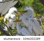 three young egret chicks in nest   Shutterstock . vector #1046202289