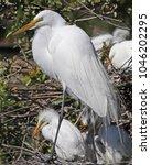 profile of great white egret...   Shutterstock . vector #1046202295