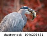 beautiful photo of a great blue ... | Shutterstock . vector #1046209651