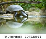 European Bog Turtle   Emys...