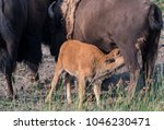 bison calf nurses while mother... | Shutterstock . vector #1046230471
